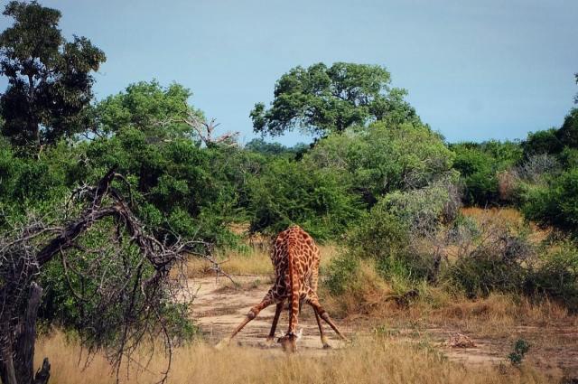 KrugerGiraffe
