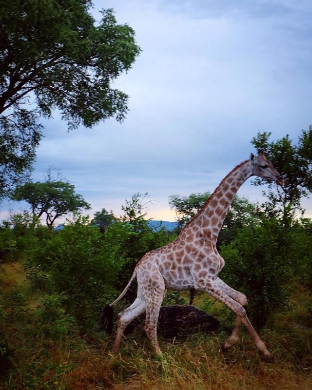 KrugerGiraffeRun